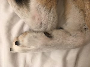 What do dew claws do?