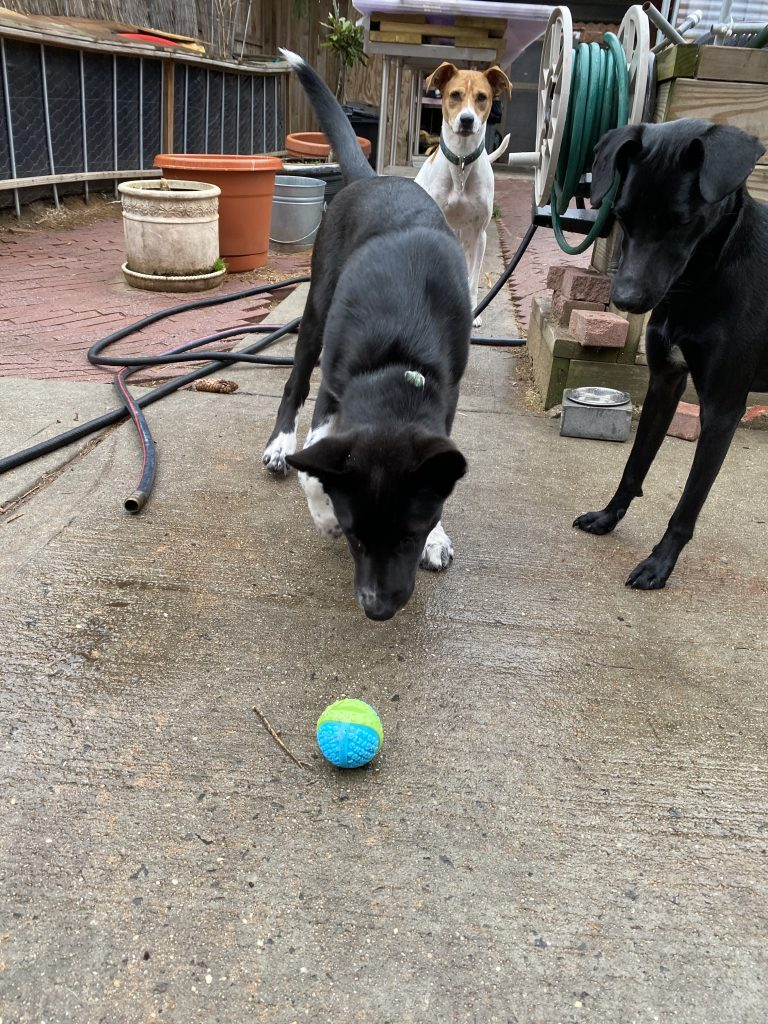 3 dogs playing with a Kong tennis ball alternative.