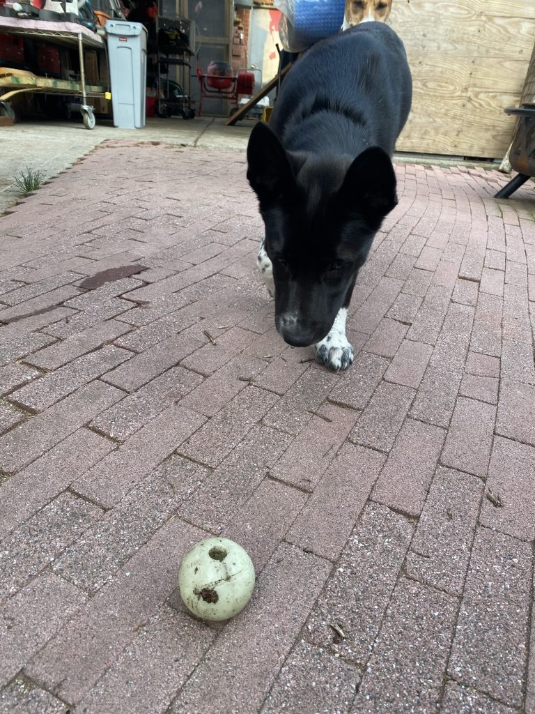 A glow in the dark tennis ball alternative. A black husky malamute playing with a glow in the dark ball.